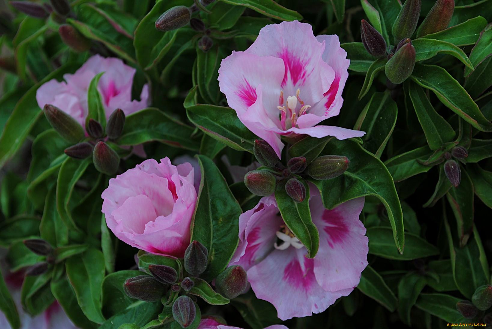 Цветок годеция фото 6
